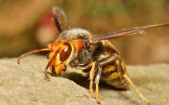 3_2_asian-giant-hornet