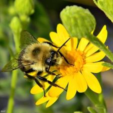 eastern_bumblebee